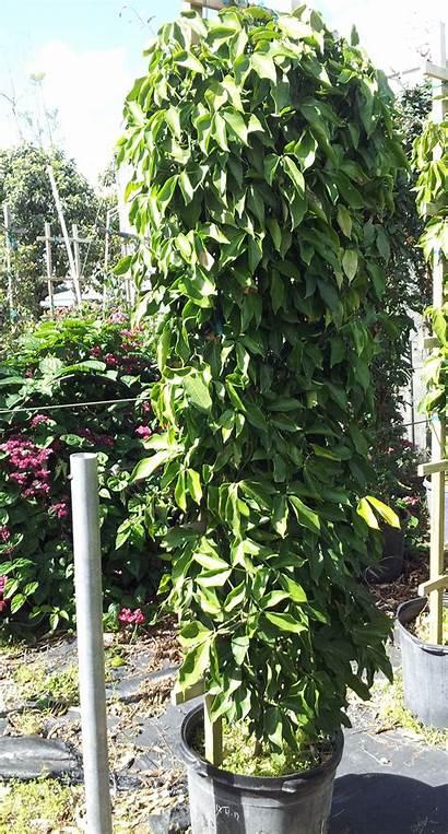 Vine Jade Tropical Plants Plant Florida Macrobotrys