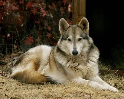 Wolf Hybrid Dog Loup Dogs Wildlife Rescue