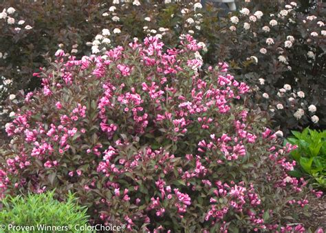 weigela bush fine wine weigela florida proven winners