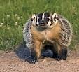 Badger | mammal | Britannica