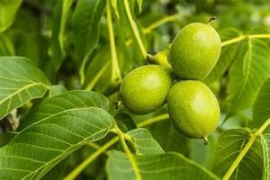 Alten Walnussbaum Schneiden : walnussbaum juglans regia pflanzen schneiden und pflege ~ Lizthompson.info Haus und Dekorationen