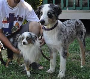 Mini Australian Shepherd Size Comparison - Goldenacresdogs.com