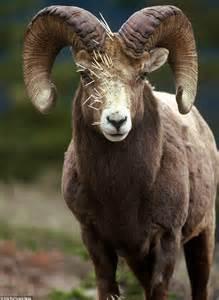 rocky mountain big horn sheep   worse close