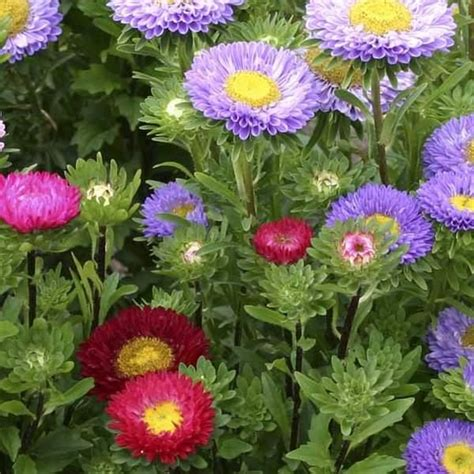 Asters Sommer Mix Callistephus Chinensis Edible