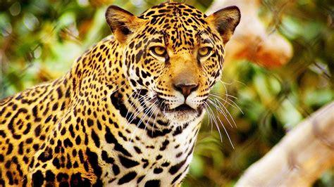 Jaguares Mexicanos En Riesgo De Extinción