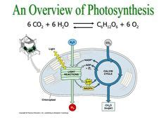 living   energy photosynthesis biology