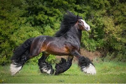 Gypsy Horses Horse Vanner Phoblog Katarzyna Okrzesik