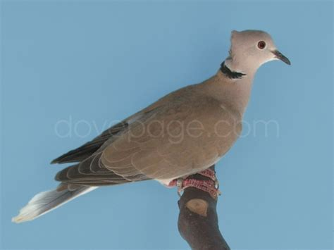 wounded restive dove pigeon talk