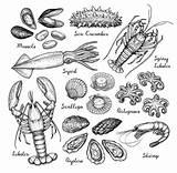 Cucumber Vectores Crawfish Drawn Trepang Fisch Mariscos Pesci Illustrazioni sketch template