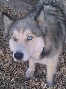 Pin Husky Wolf Mix Huskywolf Images on Pinterest