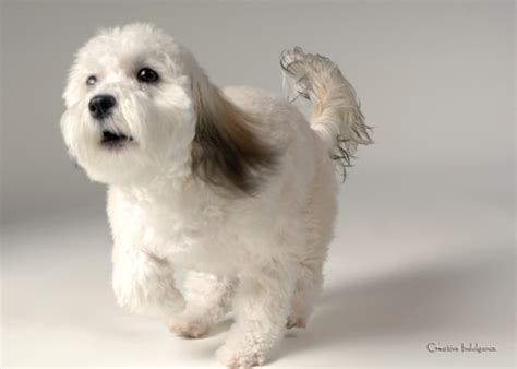 grandview havanese biewer dogs puppies hairstyles ideas