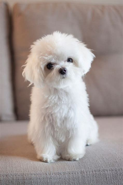 25 Best Ideas About Cute Fluffy Puppies On Pinterest