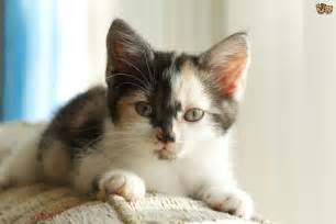 facts about calico cats seven interesting facts about tortoiseshell and calico