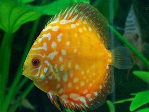 Discus Fish - Life of Sea