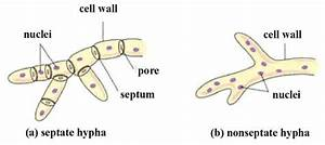 What Is The Difference Between A Septate And Non Septate Fungi