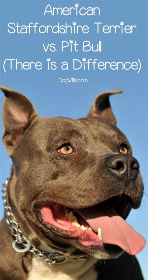 american staffordshire terrier   pit bull dogvills