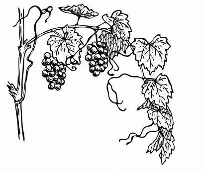 Grape Vine Grapevine Clipart Illustration Clip Drawing