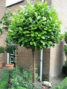 Baum Vorgarten Immergrün : prunus laurocerasus rotundifolia cherry laurel standard ~ Michelbontemps.com Haus und Dekorationen