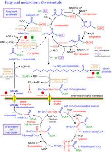 Fatty Acid Metabolism Pathway