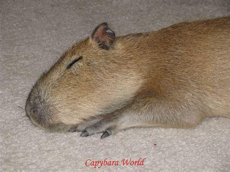 Capybara Pet