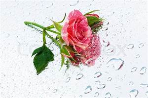 Pink rose on the mirror with water drops | Stock Photo ...