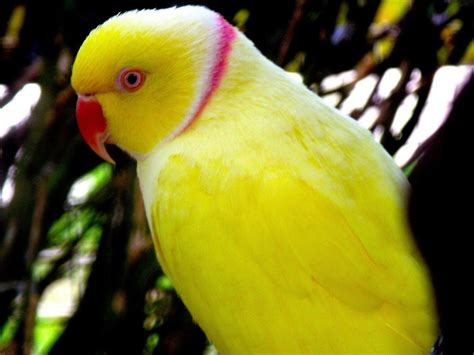 Global Pictures Gallery Yellow Parrot Hd Wallpapers