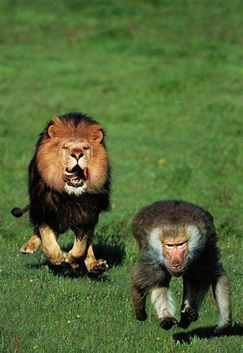 Lion Sex Meme - lion chasing a baboon be afraid run they are taking over our space pinterest baboon funny