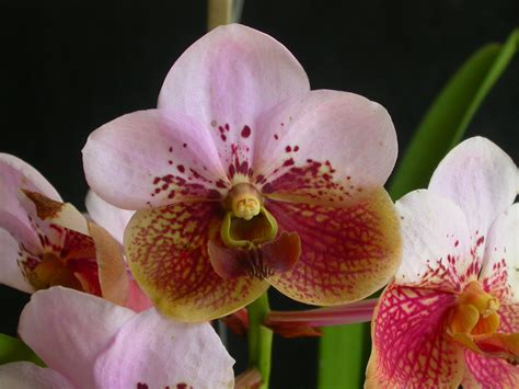 the orchid list of the orchids of the philippines wikipedia