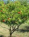 Pomegranate Tree   Pomegranates   Pinterest   Trees and ...