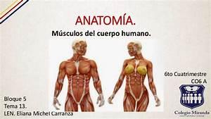 M U00fasculos Del Cuerpo Humano