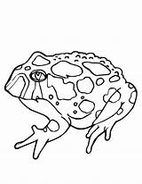 Toad Coloring Pages Printable Tadpole Horned Drawing Brown Outline Template Getdrawings Built California Usa Templates Twistynoodle sketch template