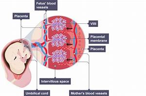 The Ovaries And The Placenta