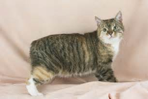manx cats manx cat wallpapers keywords here