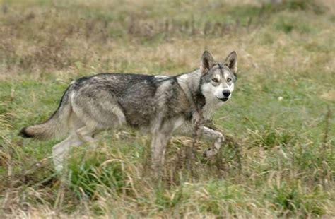des loups au cin 233 ma le royal 224 mont de marsan