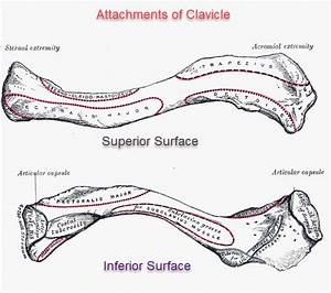 Clavicle Anatomy And Attachments
