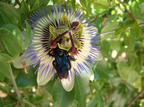 blog #37: Plava marakuja