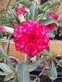 Adenium obesum is a species of flowering plant in the ...