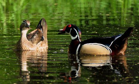 drake wood ducks enter nesting cavities iowa