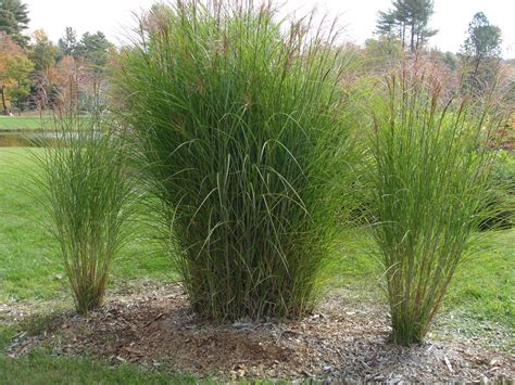 decorative grass how to divide ornamental grass misting system e learning
