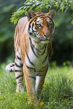 Images About Tigers Pinterest Golden Tiger
