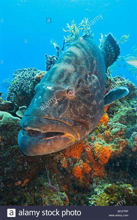 bahamas atlantic ocean grouper bahama bonaci mycteroperca alamy grand