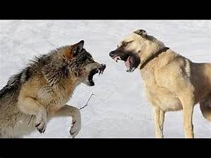 DOG KANGAL vs WOLF - fight to the death..! - YouTube