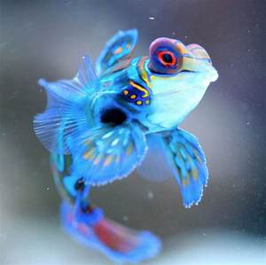 Mandarinfish (Mandarin Dragonet) Facts, Pet Care, Diet ...