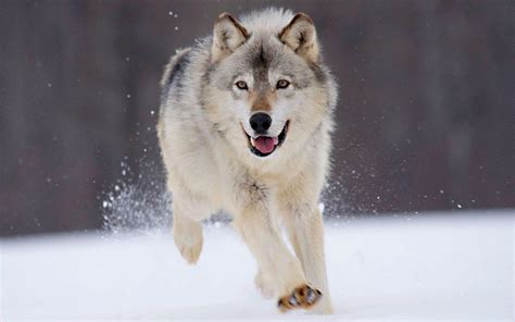And Wolf Wallpaper Hd by Wolf Wallpapers Hd Wallpaper Cave