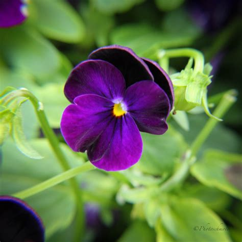 what is the state flower image gallery illinois state flower