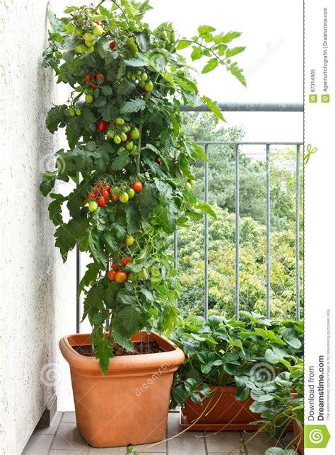 fragola del balcone del vaso della pianta  pomodori