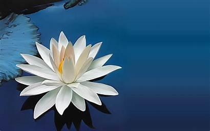 Lotus Wallpapers Desktop Flower Water Flowers Lily