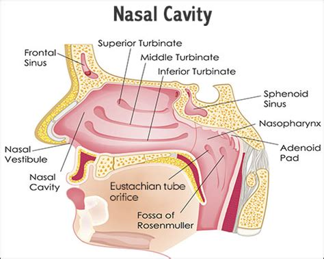 Nasal Airflow Diagram by A Study Of The Functions And Anatomy Of The Human Nasal Cavity