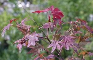 Roter Japanischer Ahorn : acer palmatum 39 atropurpureum 39 roter f cher ahorn pflanzenreich ~ Frokenaadalensverden.com Haus und Dekorationen