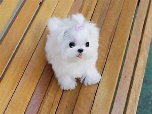 Miniature Maltese Puppy-please?! Birthday is Saturday ...